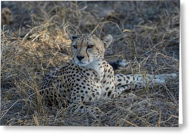 Cheetah In Repose Greeting Card