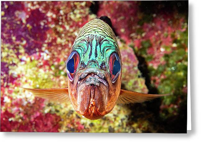 The Violet Soldierfish  Myripristis Greeting Card
