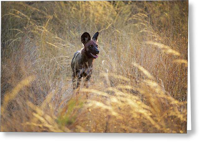 Greeting Card featuring the photograph The Wild Dog Of Africa by John Rodrigues