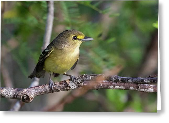 Thick-billed Vireo Greeting Card
