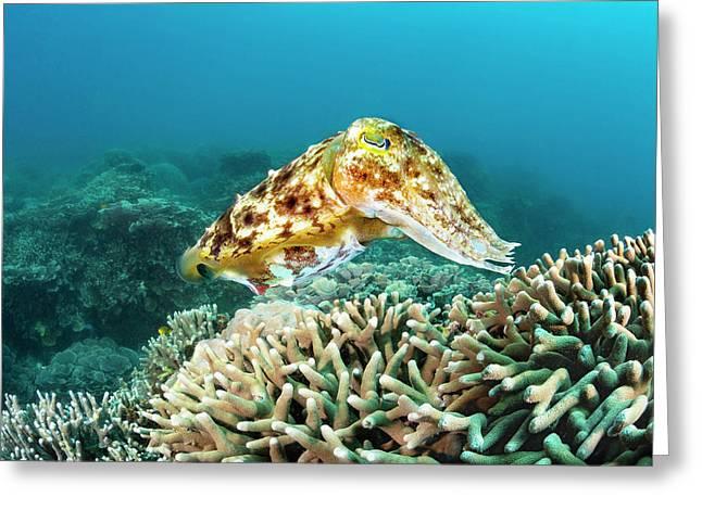 This Female Broadclub Cuttlefish  Sepia Greeting Card