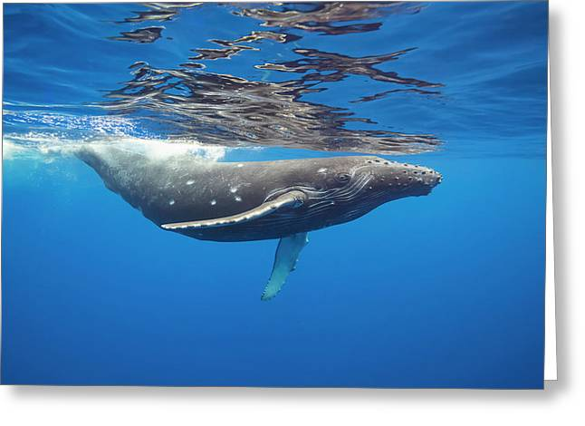 This Humpback Whale  Megaptera Greeting Card