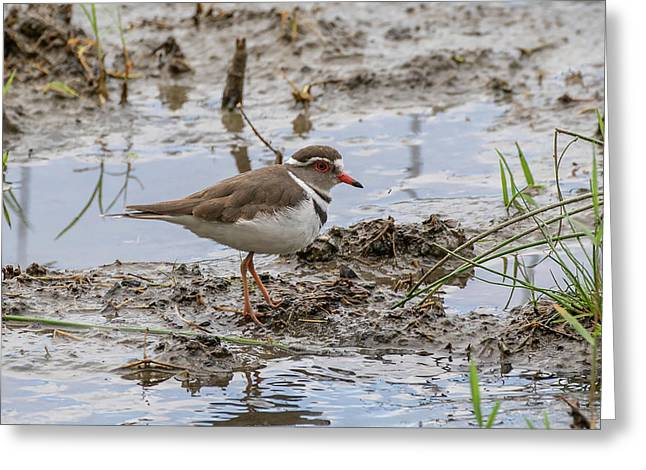 Three-banded Plover Greeting Card