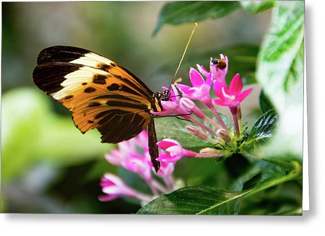 Tiger Longwing Butterfly Drinking Nectar  Greeting Card