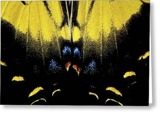 Greeting Card featuring the photograph Tiger Swallowtail  by Jeff Phillippi