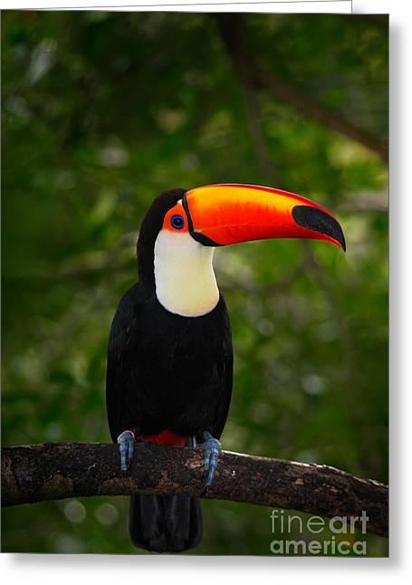 Toco Toucan, Big Bird With Orange Bill Greeting Card