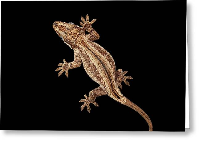 Top View Of Gargoyle Gecko, Rhacodactylus Auriculatus Staring Isolated On Black Background. Native T Greeting Card