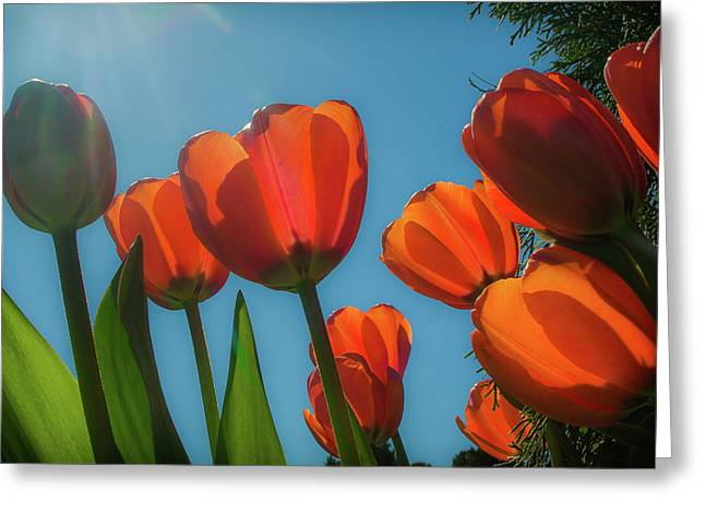 Towering Tulips Greeting Card