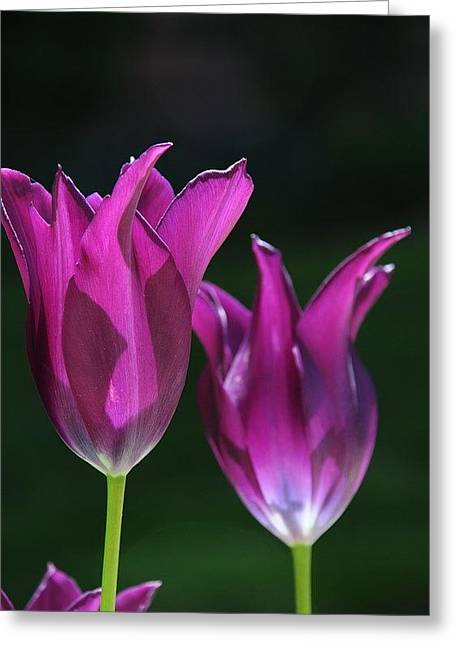 Translucent Tulips Greeting Card