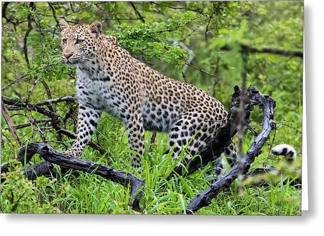 Tree Climbing Leopard Greeting Card