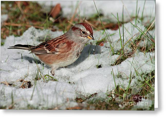 Tree Sparrow In Snow Greeting Card