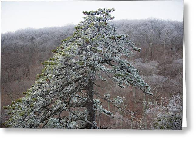 Tree With Hoarfrost Greeting Card