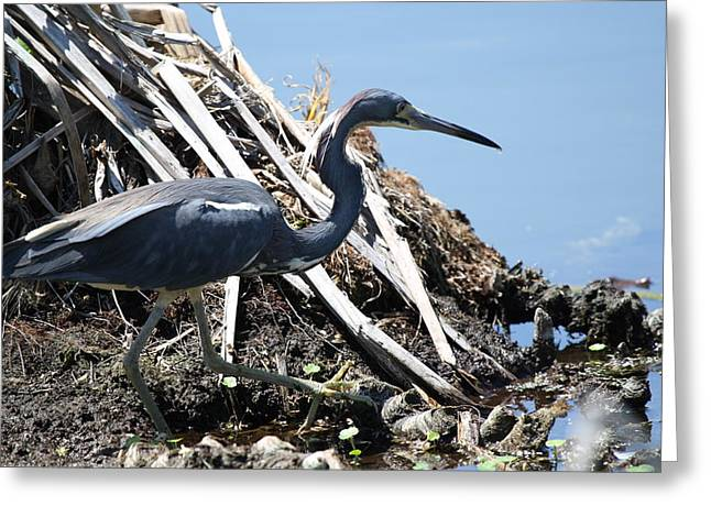 Greeting Card featuring the photograph Tri-colored Heron 40312 by Rick Veldman