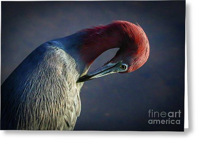 Greeting Card featuring the photograph Tricolor Preening by Tom Claud