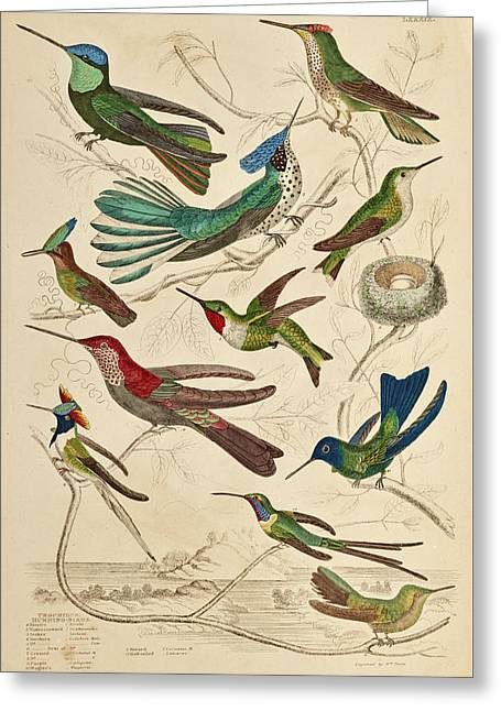 Trochilus - Hummingbirds Greeting Card
