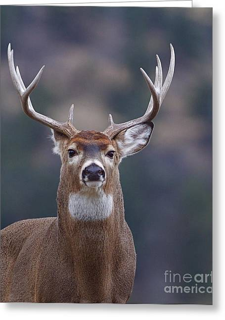 Trophy Whitetail Buck Deer, Isolated Greeting Card