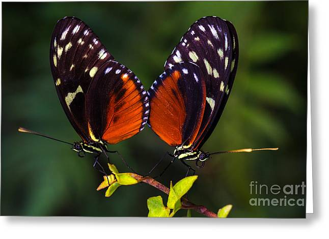 Tropical Butterflies Dido Longwing On Greeting Card