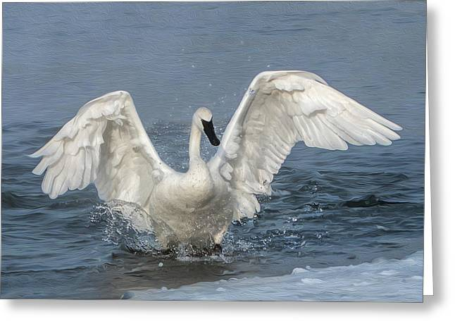Trumpeter Swan Splash Greeting Card
