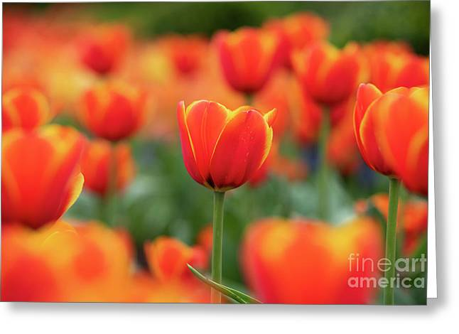 Tulipa Worlds Favourite Flowers  Greeting Card