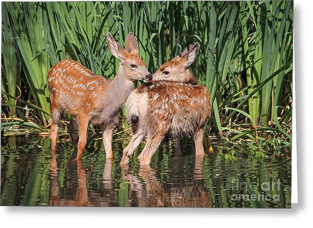 Twin Fawns Nuzzling Each Other In A Greeting Card