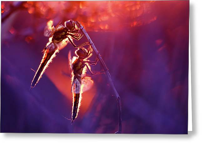 Two Can Keep A Secret - Dragonflies At Sunset Greeting Card