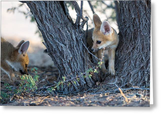 Two Cute Baby Cape Foxes Exploring Greeting Card