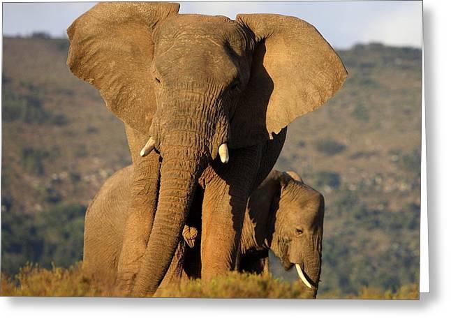 Two Elephants In Golden Light. Taken On Greeting Card