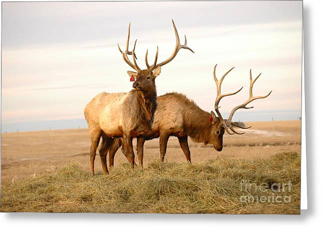 Two Elk Greeting Card