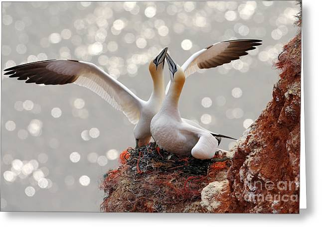 Two Gannets. Bird Landing On The Nest Greeting Card