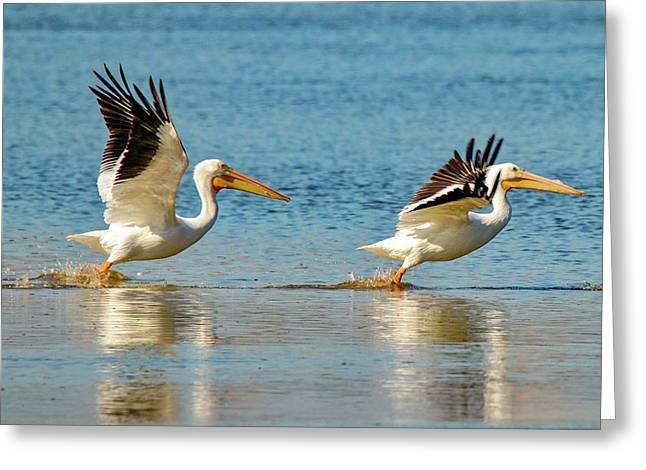 Two Pelicans Taking Off Greeting Card