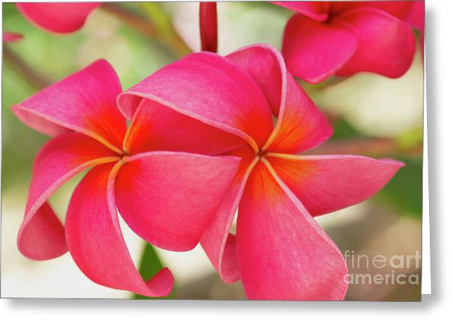 Greeting Card featuring the photograph Two Pink Plumeria Flowers by Charmian Vistaunet