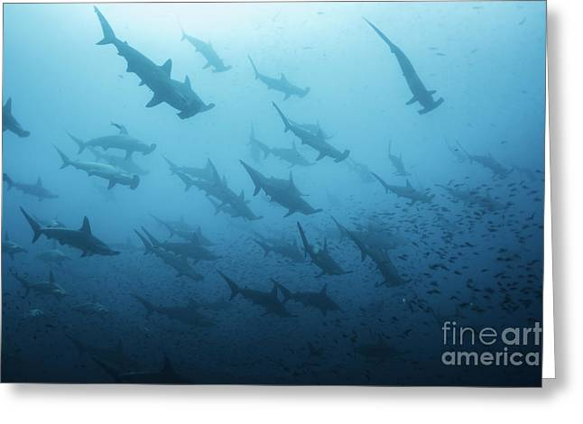Underwater View Of Scalloped Hammerhead Greeting Card