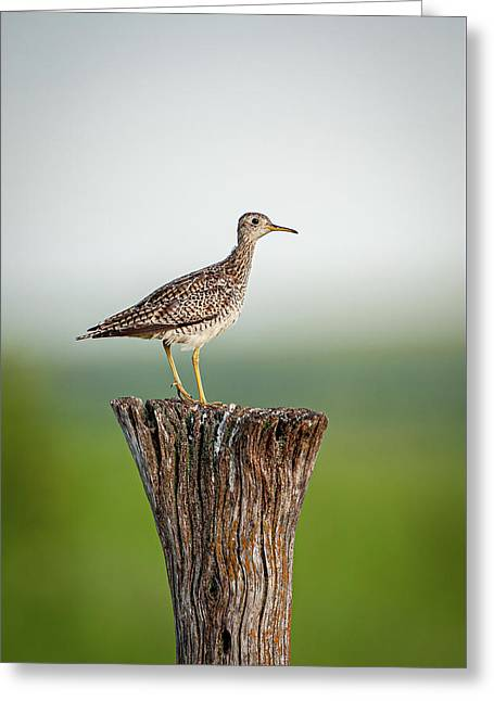 Greeting Card featuring the photograph Upland Sandpiper On Fence Post by Jeff Phillippi