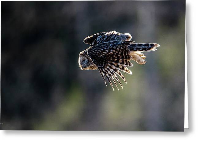 Ural Owl Flying Against The Light To Catch A Prey  Greeting Card