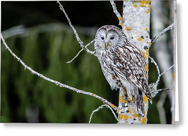 Ural Owl Perching On An Aspen Twig Greeting Card