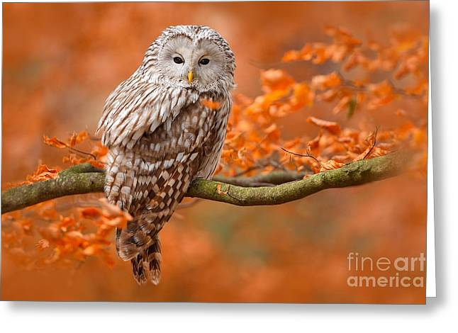 Ural Owl, Strix Uralensis, Sitting On Greeting Card