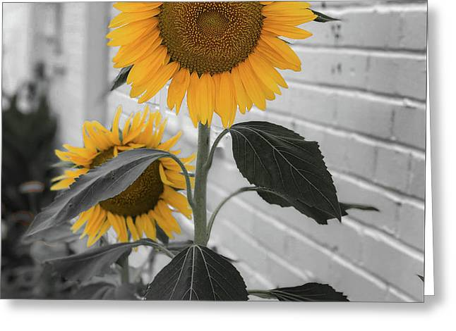 Urban Sunflower - Black And White Greeting Card