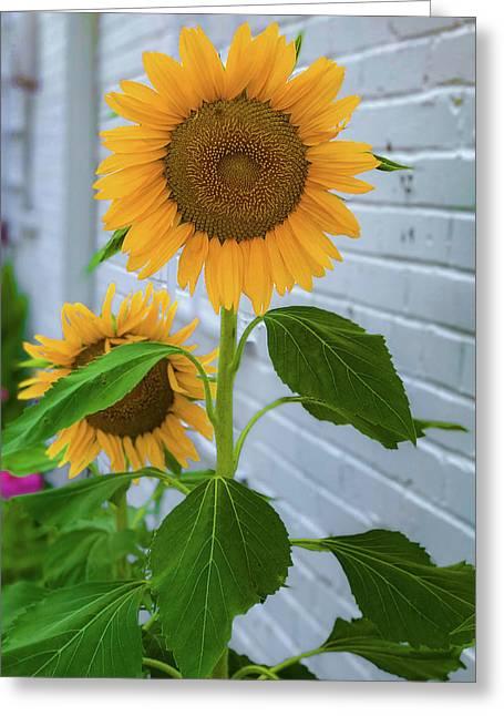 Urban Sunflower Greeting Card