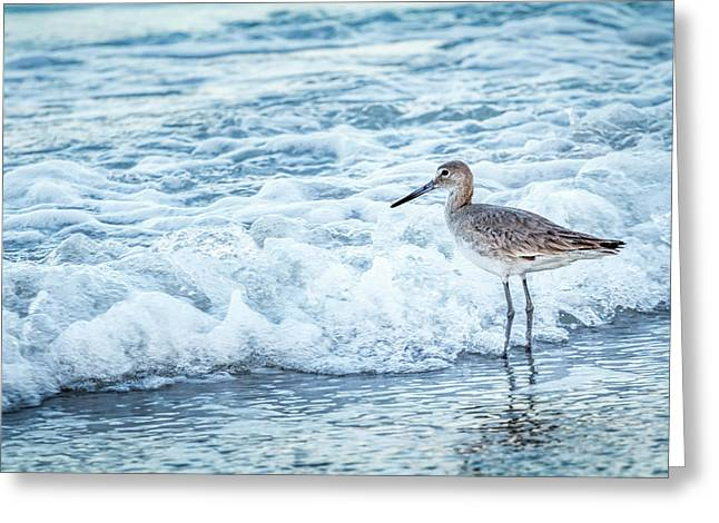 Usa, Florida A Willet, Tringa Greeting Card by Margaret Gaines