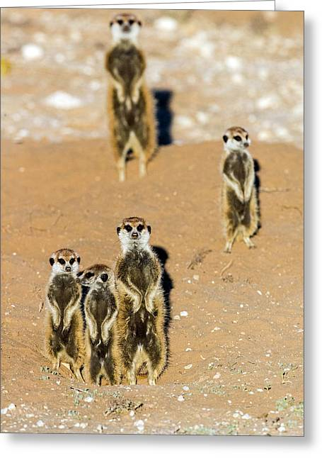 View Of Standing Meerkats Suricata Greeting Card