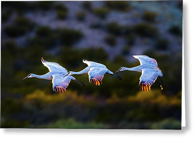 View Of Three Flying Sandhill Cranes Greeting Card