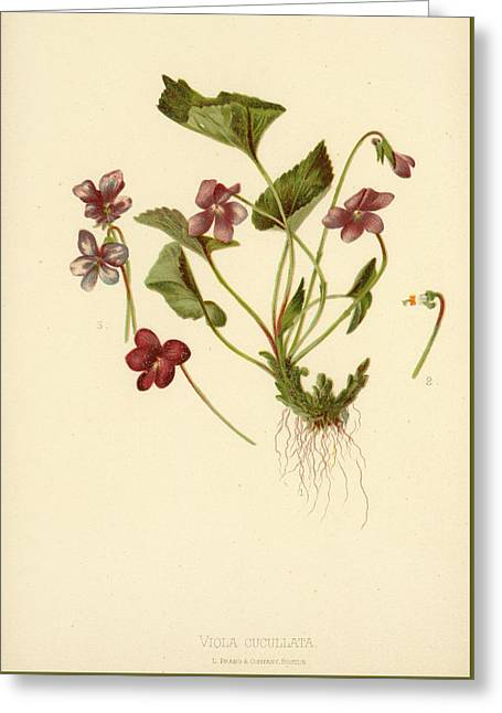 Viola Cucullata  Common Blue Violet Greeting Card