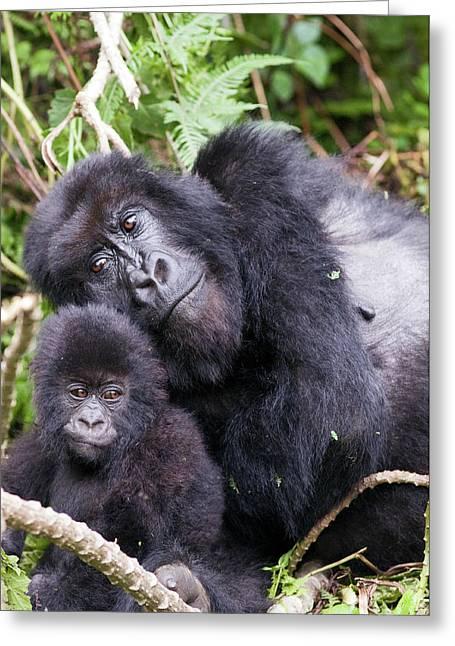 Virunga Mountains, Rwanda, Africa Greeting Card by Karen Ann Sullivan