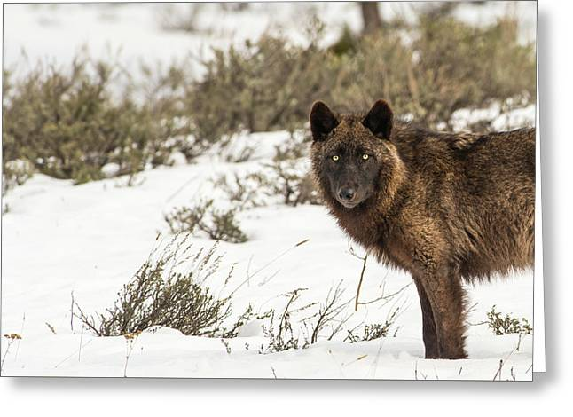 Greeting Card featuring the photograph W12 by Joshua Able's Wildlife