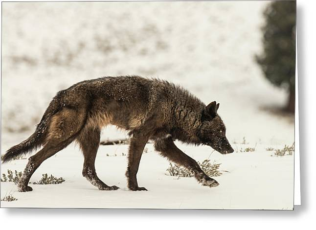 Greeting Card featuring the photograph W13 by Joshua Able's Wildlife