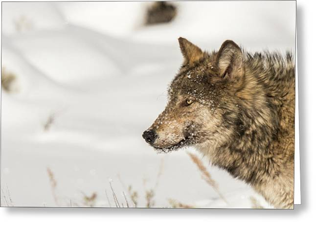 Greeting Card featuring the photograph W37 by Joshua Able's Wildlife
