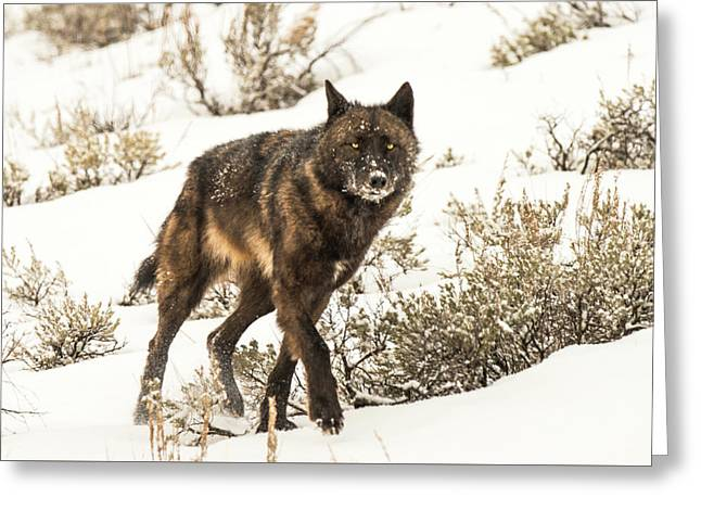 Greeting Card featuring the photograph W38 by Joshua Able's Wildlife