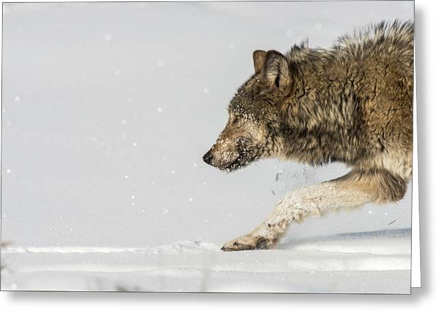 Greeting Card featuring the photograph W40 by Joshua Able's Wildlife
