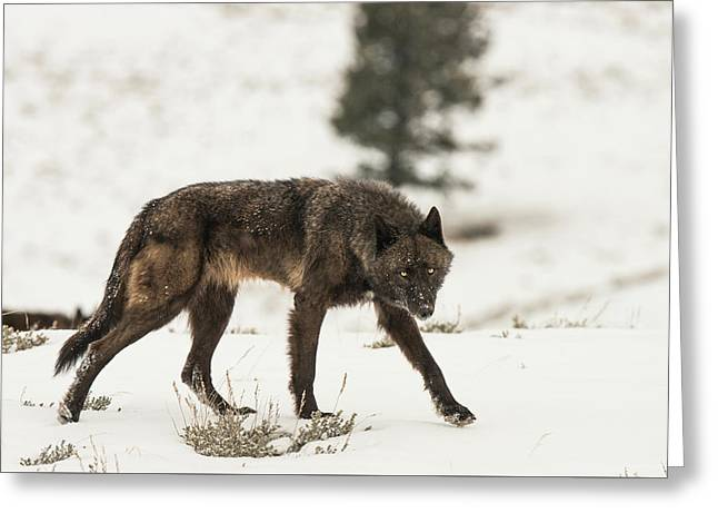 Greeting Card featuring the photograph W42 by Joshua Able's Wildlife