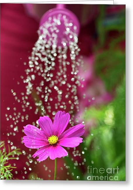 Watering A Cosmos Flower Greeting Card by Tim Gainey